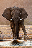 Elephant drinking at water hole in savanna landscape, Sesfontein, Kunene Region, Namibia