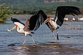 Storks catching fish in remote lake, Arba Minch, Ethiopia, Ethiopia