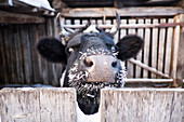 Close up of cow with frozen whiskers peering over fence, C1