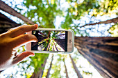 Low angle view of cell phone taking photograph of trees in forest, Muir Woods, California, United States