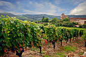 France, Burgundy, general view of a vineyard