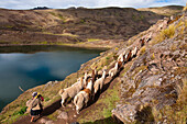South America, Peru, Cuzco region, El Parque de la papa (Potatoe park), the three lakes valley, a woman shepherd leads her llamas and alpacas to the  mountain pastures