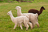 South America, Peru, Cuzco region, Cuzco Province, lamas