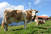 Swiss, canton of Vaud, Rossiniere, country of Enhaut, Chalet des Combarins, Herd of cows in a field