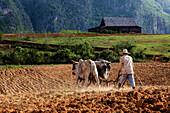 Farmer plowing field with oxen, Vinales, Pinar del Rio, Cuba