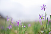 Purple Flowers in Field, Close-Up