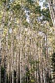 Grove of White Aspen Trees, Close-Up, Colorado, USA