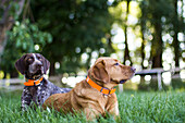 Two dogs relax on the grass on a ranch in Montana during summer.