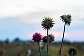 Thistle plant pods on a ranch in Montana during sunset.