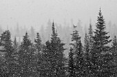 Snow falling and frost covered trees near Tuckerman Ravine.