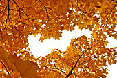 Yellow gold maple leaves in autumn