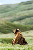 Brown Bear seated in a grass field in Katmai National Park, Alaska