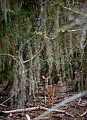 A young deer stands alone in a thich patch of woods at Myakka Park in Sarasota, Fla. on December 6, 2009.
