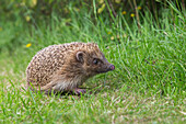 Hedgehog (Erinaceus europaeus), captive, United Kingdom, Europe