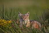 Swift fox (Vulpes velox), Pawnee National Grassland, Colorado, United States of America, North America