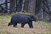Black bear (Ursus americanus) in the snow, Yellowstone National Park, UNESCO World Heritage Site, Wyoming, United States of America, North America