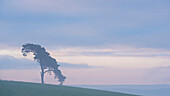 Lone pine tree on a rural hill top at dawn, Devon, England, United Kingdom, Europe