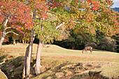 Deer in Nara Park, Nara, Kansai, Japan, Asia