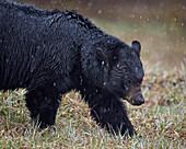Black bear (Ursus americanus) in the snow, Yellowstone National Park, Wyoming, United States of America, North America