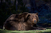 Grizzly bear (Ursus arctos horribilis) resting, Yellowstone National Park, Wyoming, United States of America, North America