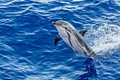 Adult striped dolphin (Stenella coeruleoalba) leaping near La Gomera, Canary Islands, Spain, Atlantic, Europe