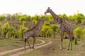 Southern giraffe (Giraffa camelopardalis), Chobe National Park, Botswana, Africa