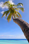 A palm tree leaning out to sea on an island in the Maldives, Indian Ocean, Asia