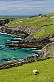 Sheep fences and rock walls along the Dingle Peninsula, County Kerry, Munster, Republic of Ireland, Europe