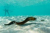 Yellowmargin moray eel (Gymnothorax flavimarginatus) underwater on pink sand beach, Komodo National Park, Komodo Island, Indonesia, Southeast Asia, Asia