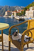 Waterside cafe and cat, Perast, Bay of Kotor, UNESCO World Heritage Site, Montenegro, Europe