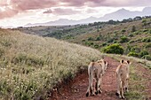 Two lions walking off into sunset on a dirt road depicting togetherness and friendship, Western Cape, South Africa, Africa