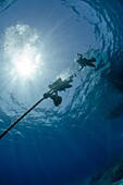 Two scuba divers descending down a line, part silhouette, low angle view, Ras Mohammed National Park, Red Sea, Egypt, North Africa, Africa