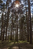 Tall trees with sunlight breaking through, Virginia Water, Surrey, England, United Kingdom, Europe