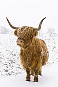 Highland cow in winter snow, Yorkshire Dales, Yorkshire, England, United Kingdom, Europe