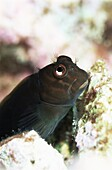 Goby lives in holes in coral, Aldabra, Seychelles, Indian Ocean, Africa