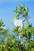 Great Egret (Casmerodius albus) on a tree, Sanibel Island, J. N. Ding Darling National Wildlife Refuge, Florida, United States of America, North America