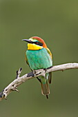European bee-eater or golden-backed bee-eater (Merops apiaster), Kruger National Park, South Africa, Africa