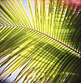 Green palm leaves captured against the sky with sunlight streaming through, Jambiani, Zanzibar, Tanzania, East Africa, Africa