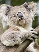 Koala, Ottway National Park, Victoria, Australia, Pacific