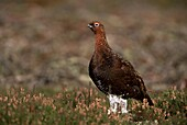 Red grouse (Lagopus lagopus), North Yorkshire, Yorkshire, England, United Kingdom, Europe