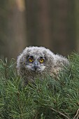 European eagle owl chick, Bubo bubo, five weeks old, captive, United Kingdom, Europe