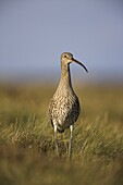 Curlew (Numenius arquata), Upper Teesdale, England, United Kingdom, Europe