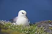 Fulmar, Fulmarus glacialis, Isle of May, Fife, Scotland, United Kingdom, Europe