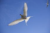 Arctic tern in flight, Sterba paradisaea, Isle of May breeding colony, Fife, Scotland, United Kingdom, Europe
