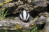 Badger cub, Meles meles, captive, United Kingdom, Europe