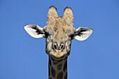 Giraffe (Giraffa camelopardalis), Kgalagadi Transfrontier Park, Northern Cape, South Africa, Africa