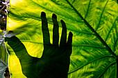 Shadow of hand behind giant leaf in Ulu Temburong National Park, near Bandar Seri Begawan, Brunei, Asia