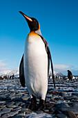 King penguin (Aptenodytes patagonicus) on beach, Salisbury Plain, South Georgia Island, Antarctica