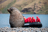 Fur seal with Zodiac dinghy from expedition cruise ship MS Hanseatic (Hapag-Lloyd Cruises) behind, Stromness, South Georgia Island, Antarctica