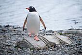Gentoo penguin (Pygoscelis papua) stands on vertrebrae of whale, Stromness, South Georgia Island, Antarctica